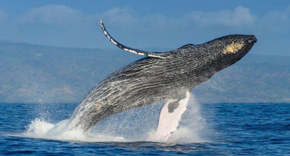 fotos-de-national-geographic-ballenas-jorobadas-portada-nota.jpg.imgw_.1280.1280-990×531